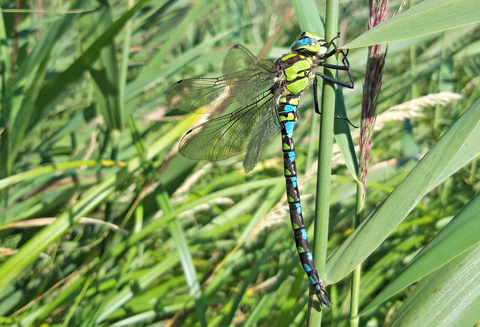Southern hawker male by Henry Stanier