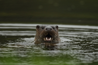 Otter opens it's mouth in a River