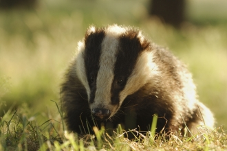 Adult Badger by evening sunlight