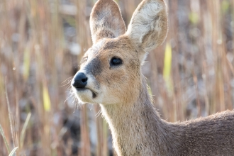Chinese Water Deer Camouflaged