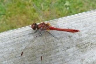 Ruddy Darter Rhymes Reed Bed credit: Henry Stanier