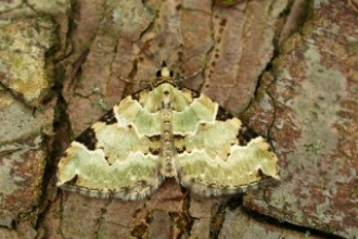 Green Carpet Moth credit: Paul Tinsley-Marshall