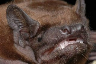 Noctule Bat credit: Peter Estok