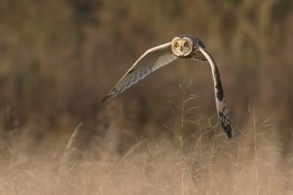 Short eared owl at the Great Fen