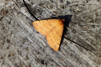 Feathered thorn on log at Ramsey Heights