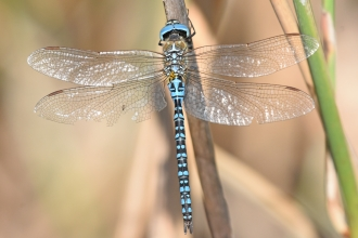 Southern migrant hawker by Andy Frost