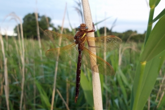 Brown hawker Great Fen