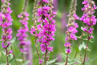 Purple loosestrife at Holme Fen