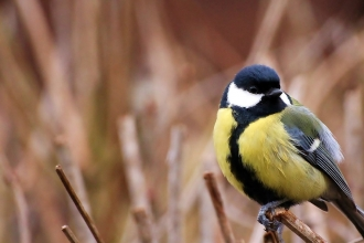 Great tit by  Andy Jones