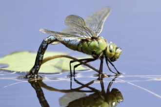 Emperor dragonfly female laying eggs by Ross Hoddinott/2020VISION