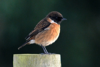 Stonechat by Amy Lewis