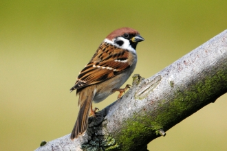 Tree sparrow by Amy Lewis