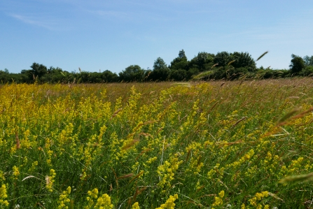 Lady's bedstraw at Upwood Meadows