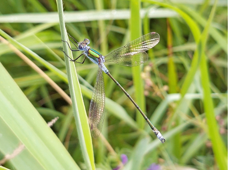 Emerald damselfly at Woodwalton Fen