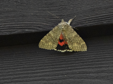 Red underwing by Kate Bailey