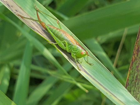 Short-winged conehead by Henry Stanier