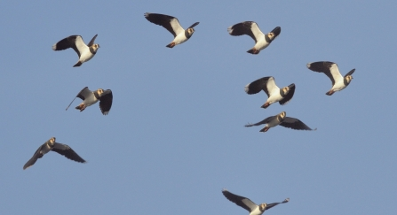 Flock of Lapwing (Vanellus vanellus), flying close overhead